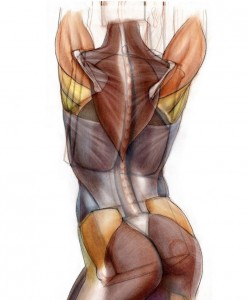 building posterior muscle