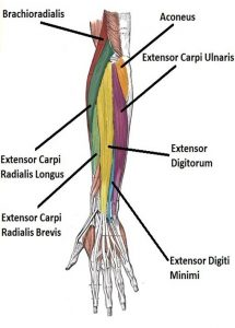 forearms, extensor carpi radialis longus brevis digitorum digiti minimi ulnaris joints