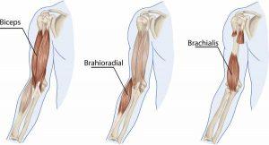 biceps brachii brachialis brachioradialis