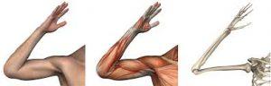 elbow morphology