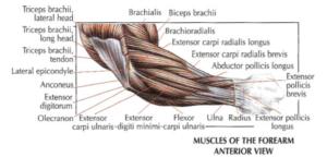 arm anatomy version