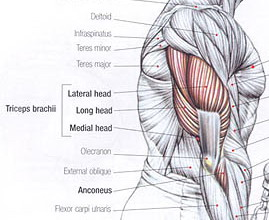 triceps anatomy muscle