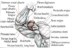 arm biceps anatomy