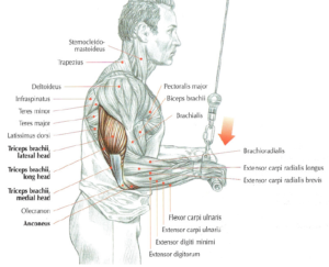 triceps pushdown cable