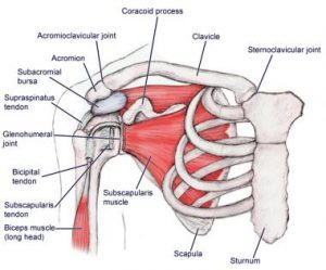shoulder anatomy