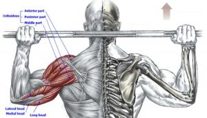 back press anatomy