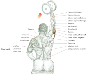 one arm dumbell triceps extension anatomy