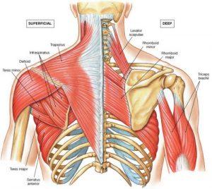 kyphosis muscles