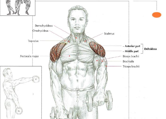 Strength Training Anatomy Frederic Delavier Gallery - human body anatomy