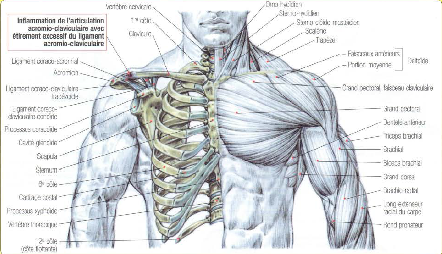 Acromioclavicular Problems • THE stephane ANDRE