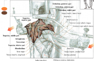 pec deck rear deltoid lateral