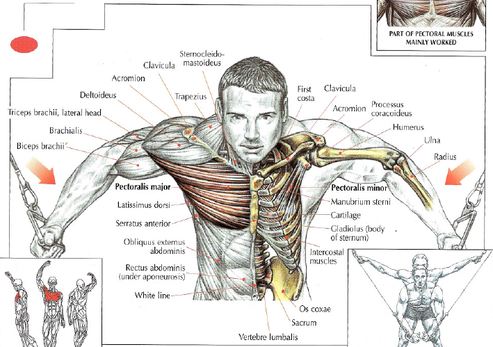 Frederic delavier Strength Strength Training Anatomy 3rd Edition ...