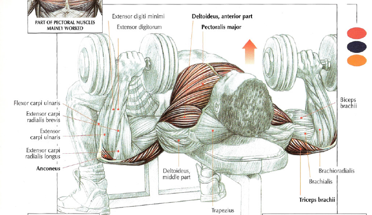 Chest Press Muscles Diagram - House Wiring Diagram Symbols •