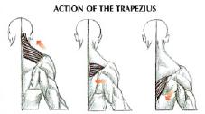 dumbbell shrugs back traps anatomy