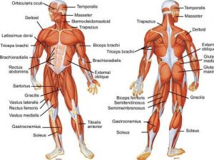 body anatomy workout muscle