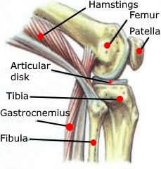 hamstrings femur patella articular disk tibia gastrocnemius fibula anatomy knee