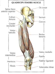 leg extension quadriceps femoris muscle anatomy