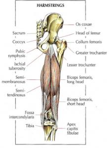 hamstings anatomy lying leg curls