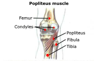 anatomy popliteus muscle