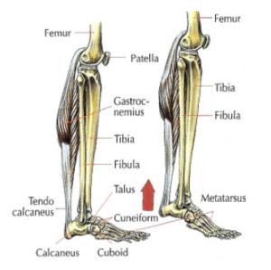 one leg raises anatomy