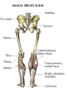 muscle triceps surae