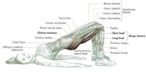 bridge anatomy