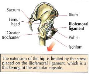 cable back kicks glutes anatom iliofemoral ligament