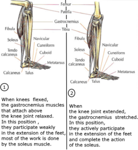 triceps soleus muscles