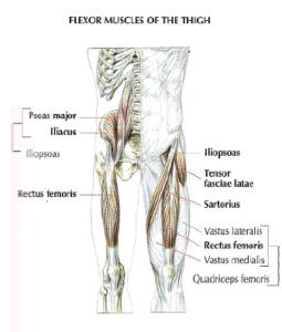 flexor muscle thigh