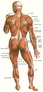 posterior back muscle