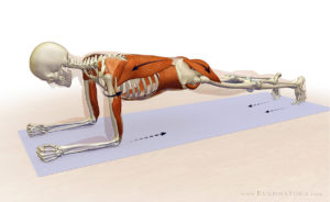 plank anatomy abs