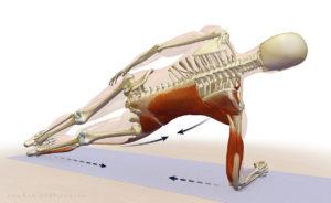 plank anatomy