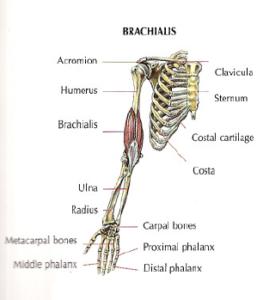 brachalis anatomy