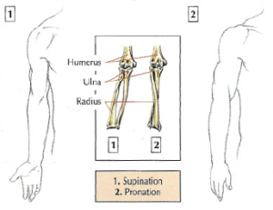 arm supination pronation anatomy