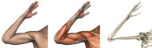 elbow morphology
