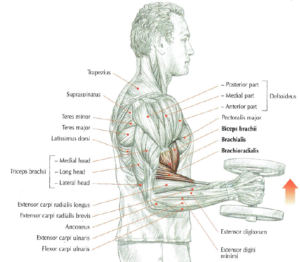 hammer curls anatomy