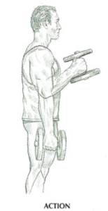 hammer curls anatomy