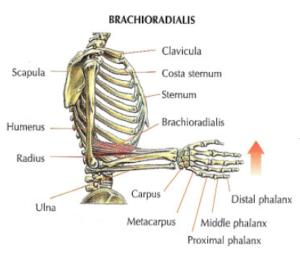 arm anatomy brachioradialis