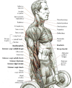 reverse curls anatomy version