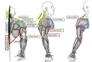 deltoids middle deltoids posterior upper trapezius triceps serratus anterior rhomboids infraspinatus teres minor supraspinatus