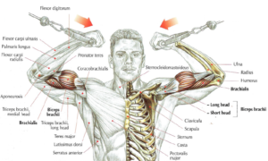 high pulley curls anatomy