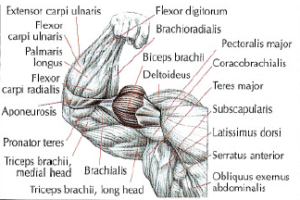 arm biceps anatomy