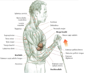 low pulley curls anatomy