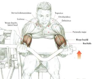 machine curls anatomy arm