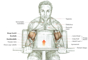 preacher curls anatomy
