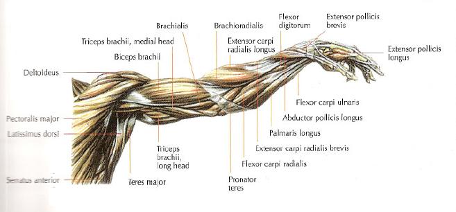 extensor carpi ulnaris exercise