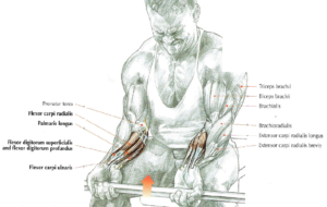barbell wrist curls anatomy