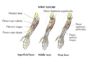forearms anatomy