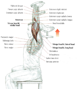 seated Dumbbell Triceps Extensions anatomy arm