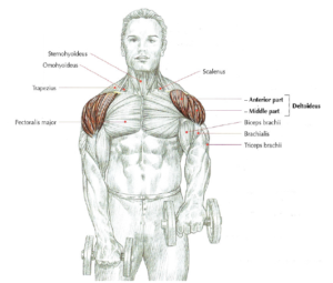 front raises anatomy dumbbell shoulder